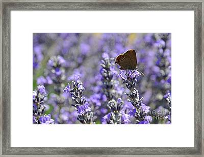 Butterfly Gathering Nectar From Lavender Flowers Framed Print by Sami Sarkis