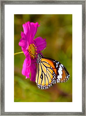 Butterfly II Framed Print by Fotosas Photography