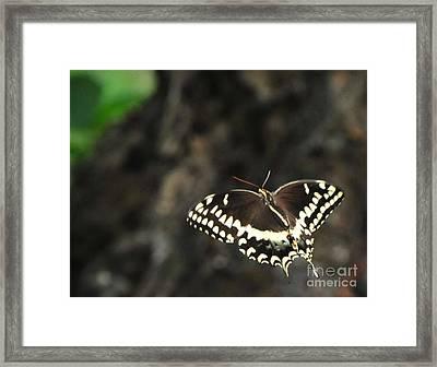 Butterfly In Flight Framed Print by Paul Ward