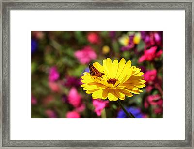 Butterfly Kissing Yellow Wildflower  Framed Print