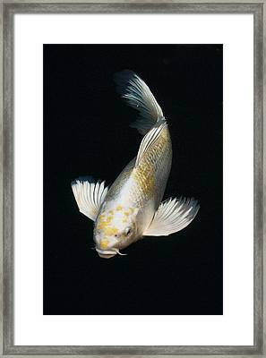 Butterfly Koi Framed Print by Don Mann