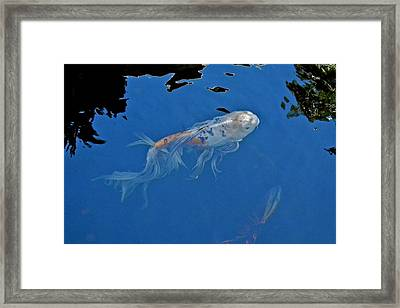 Butterfly Koi In Blue Sky Reflection Framed Print by Kirsten Giving