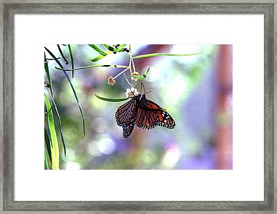 Framed Print featuring the photograph Butterfly Meet-up by Tam Ryan