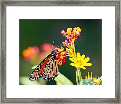 Butterfly Monarch On Lantana Flower Framed Print
