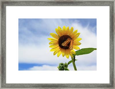 Butterfly On A Sunflower Framed Print