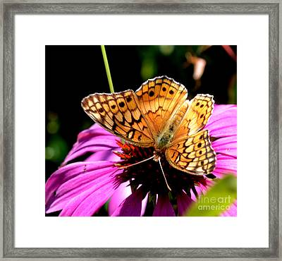 Butterfly On Coneflower-05 Framed Print by Eva Thomas