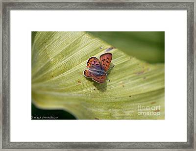 Framed Print featuring the photograph Butterfly On Cornflower Leaf by Mitch Shindelbower