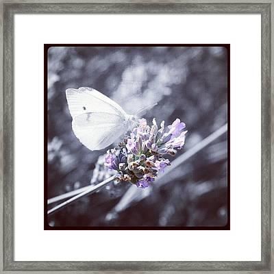 Butterfly On Lavender. #butterfly Framed Print