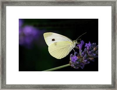 Butterfly On Lavender Flower Framed Print by Annfrau