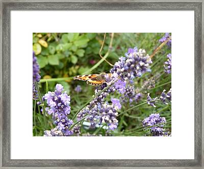 Butterfly On Lavendula Framed Print