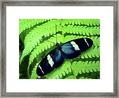 Butterfly On Leaf. Framed Print by Kryssia Campos