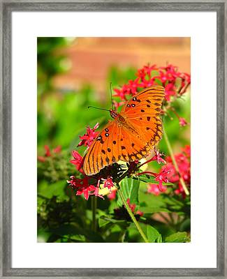 Butterfly On Pentas Framed Print by Carla Parris