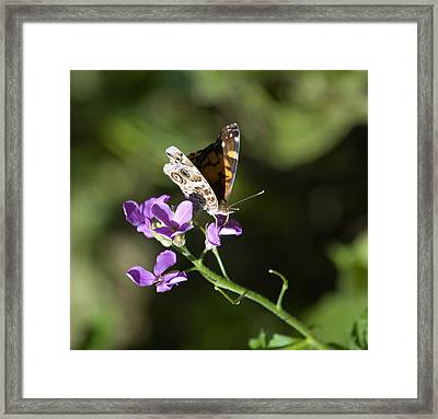 Butterfly On Phlox Bloom Framed Print