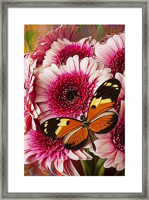 Butterfly On Pink Mum Framed Print by Garry Gay