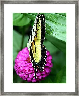 Butterfly On Pink Framed Print by Susan Leggett