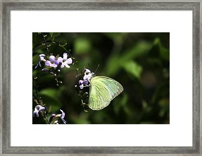 Butterfly On Purple Flower Framed Print by Ramabhadran Thirupattur