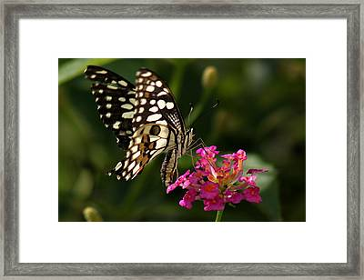 Framed Print featuring the photograph Butterfly by Ramabhadran Thirupattur
