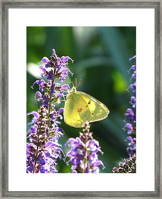 Butterfly Framed Print by Rebecca Overton