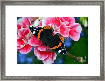 Butterfly Red Admiral Framed Print