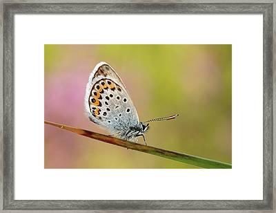 Butterfly Framed Print by Stefady