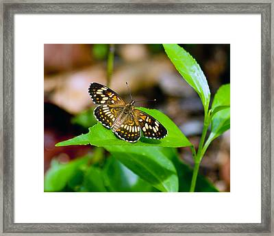 Framed Print featuring the photograph Butterfly by Susi Stroud