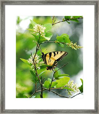 Framed Print featuring the photograph Butterfly Tiger Swallow by Peggy Franz