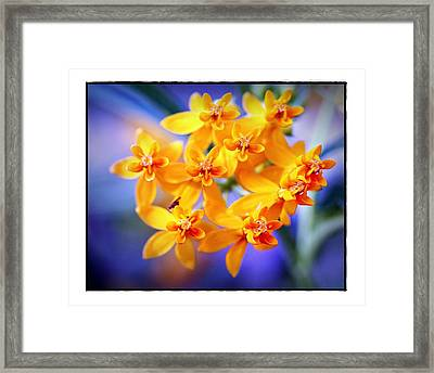 Butterfly Weed Framed Print by Judi Bagwell