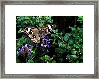Butterfly With Torn Wings Framed Print by Robert Ullmann