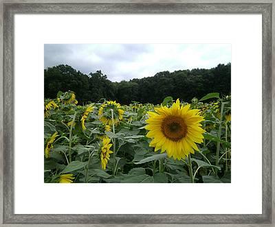 Buttonwoods Sunflowers Framed Print by Jason Sawicki