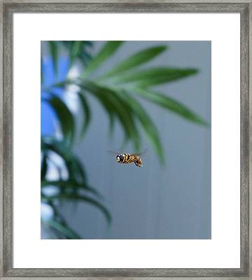 Buzz Of The Hover Fly Framed Print
