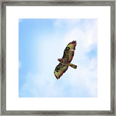 Buzzard In Flight Framed Print by Marcel ter Bekke