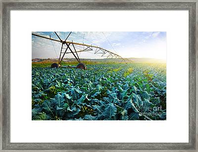 Cabbage Growth Framed Print