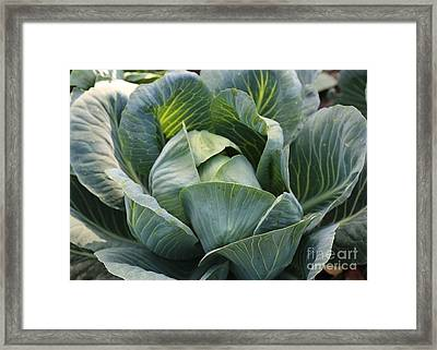 Cabbage In The Vegetable Garden Framed Print by Carol Groenen