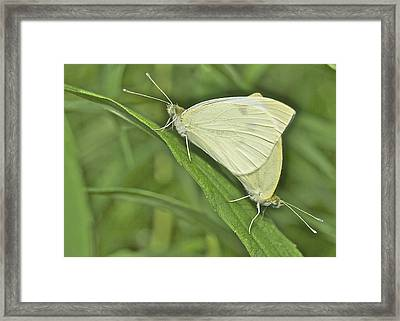 Cabbage White Butterflies 5267 Framed Print by Michael Peychich