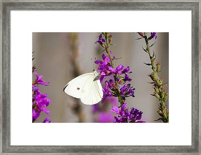 Cabbage White Butterfly Framed Print by Michel DesRoches