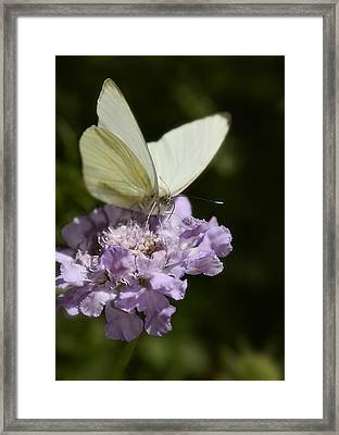 Cabbage White Butterfly  Framed Print by Saija  Lehtonen