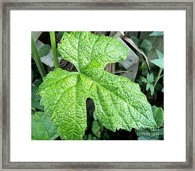 Cabernet Sauvignon Grape Leaf Framed Print by Padre Art