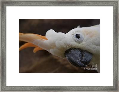 Cacatua Sulphurea Citrinocristata - Citron Crested Cockatoo Framed Print by Sharon Mau