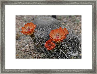 Framed Print featuring the photograph Cactus Beauty by Cheryl McClure