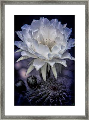 Cactus Flower Framed Print by Chris Lord