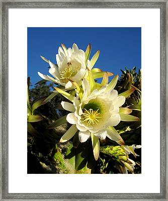 Cactus Flowers Framed Print by Sue Halstenberg