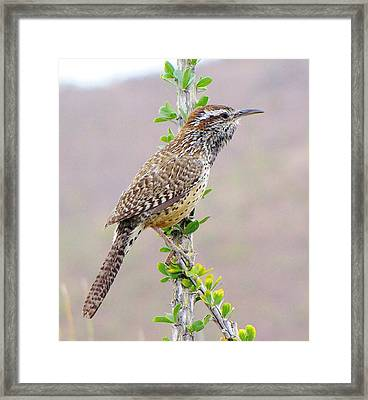 Cactus Wren Framed Print by FeVa  Fotos