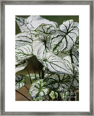 Caladium Named White Christmas Framed Print by J McCombie