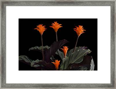 Calathea Crocate Framed Print by Terence Davis