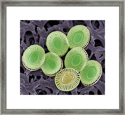 Calcareous Phytoplankton Plates, Sem Framed Print by Steve Gschmeissner
