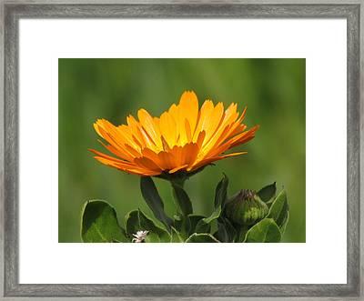 Calendula Bloom Framed Print