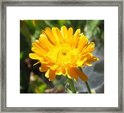 Calendula Blossom Framed Print