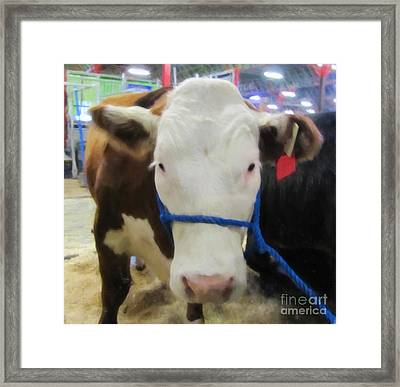 Calgary Stampede Cow Framed Print