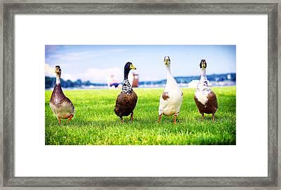 Calico Duck Quartet Framed Print by Vicki Jauron