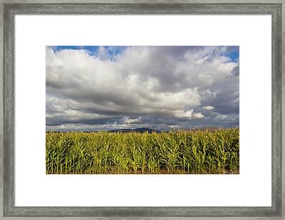 California Cornfield Framed Print